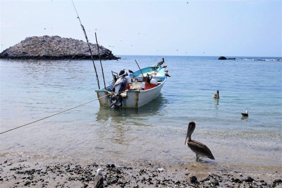 Pelícanos en isla Isabel